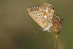 Chalk Hill Blue (Polyommatus coridon) (another walt) Tags: chalk hill blue polyommatus coridon butterfly