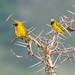 Speke's Weaver (Ploceus spekei), males