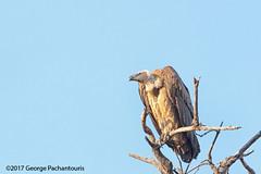 Vulture in Chobe national park, Botswana (George Pachantouris) Tags: botswana africa southern chobe national park wildilfe reserve river animals bird birds vulture