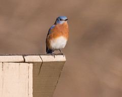 Home Sweet Home... (ragtops2000) Tags: bluebird eastern male home house territory marked autumn pose detail eye light background colorful