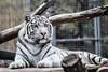 Tiger (novkcsaba) Tags: whitetiger pécs fünfkirchen tigris állatkert zoo