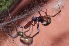 Steatoda nobilis pair (Procrustes2007) Tags: spider steatoda steatodanobilis noblefalsewidow male female pair arachnid nikond50 nikkor50mmais tamron2xteleconverter vivitarextensionrings68mmtotal flash greatcornard suffolk uk britain england macro
