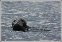 Stealthy Grey Seal (coldnebraskablue) Tags: greyseal farneislands wildlife northumberland england coast sea animals atlanticseals northeast nikond7100 70300 boattrip swimming nationaltrust seahouses animal water mammal