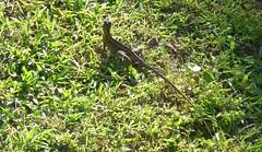 20170625 (154) Green Cay Wetlands Boynton Beach FL USA (FRABJOUS DAZE - PHOTO BLOG) Tags: greencaywetlands greencay wetlands nature wildlife park refuge preserve luonto luonnonpuisto boyntonbeach boynton palmbeachcounty pbc fla fl usa yhdysvallat luontokuvaus naturephotography naturephoto lisko lizard