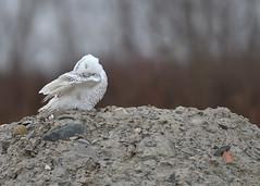 Snowy Owl Preening (Hanzy2012) Tags: toronto ontario canada wildlife bird snowyowl buboscandiacus harfangdesneiges nikon d500 afsnikkor500mmf4difedii