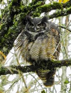 Great Horned Owl...Do you mind? Napping here.