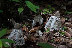 Three veiled mushrooms (Sven Rudolf Jan) Tags: tufi papuanewguinea forest mushroom