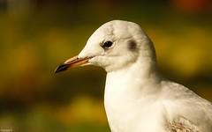 Portrait Seagul - 4063 (YᗩSᗰIᘉᗴ HᗴᘉS +9 500 000 thx❀) Tags: mouette seagul portrait bird wildbird green nature hensyasmine yasminehens oiseau