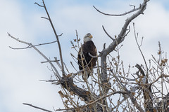 The young Bald Eagle in its perch