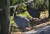 Canon270218 (godrudy6661) Tags: neworleans audubonzoo audubonpark darktable guineafowl