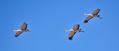Sandhill Crane Trio on Approach: Arizona (mharoldsewell) Tags: 2017 arizona cochisecounty cranes d7200 nikon november sandhillcrane whitewaterdrawwildlifearea bird birds mharoldsewell mikesewell photos