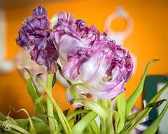 eNtwiNed.jpg (christophersears94) Tags: toronto fleur stackedfocus ontario canada olympusem12 ronnyvillage olympus1240f28pro urban