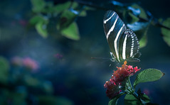 Dreamers of the Night (Charles Opper) Tags: canon lantana zebralongwing butterfly color doubleexposure flower nature dreamy midway georgia unitedstates insect autumn fall night dark heliconius charithonia