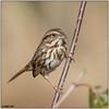 Song Sparrow (Eastern) DSC-8660 (blindhogmike) Tags: song sparrow phinizy swamp augusta georgia ga gorrióndelacanción liedsperling chansonmoineau