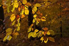 Herfst - Utrechtse heuvelrug (mariandeneijs) Tags: bos bomen boom tree trees forest utrechtseheuvelrug herfst autumn herbst