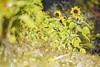秋の向日葵 / Sunflower in autumn (March Hare1145) Tags: 花 flower plant 植物 向日葵 ひまわり sunflower 日本 japan