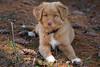 Zelda (NicoleW0000) Tags: novascotiaducktollerdog puppy cute animal pet outdoorphotography pinecones
