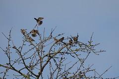 Stare in der Abendsonne (reipa59) Tags: landen fliegen zweige naturbaum stare star vögel ransweiler rheinlandpfalz sonnenlicht abendsonne baum natur vogel