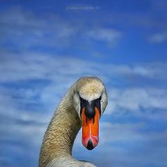 che vuoi?! (pamo67) Tags: pamo67 whatdoyouwant cigno swan collo neck becco beak cielo sky azzurro sguardo look square minaccioso threatening pasqualemozzillo