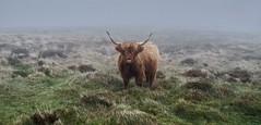 Stock Photo (http://www.richardfoxphotography.com) Tags: highlandcow cow cattle fog moorland
