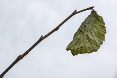 Det sidste blad - The Last Leaf