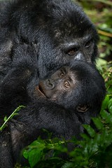 Gorilla Baby Bwindi Impenetrable Forest National Park Uganda Nov _ZM48699 Nov 2016 (www.sabrewingtours.com) Tags: african birding expo sabrewing nature tours snt photo tour brian zwiebel bz mountain gorilla bwindi impenetrable forest national park uganda africa mammal primate thepearlofafrica eco tourism conservation entebee 2016