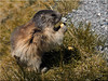 Marmot on the Kaiser-Franz-Josefs-Höhe at the Grossglockner (Ostseetroll) Tags: aut geo:lat=4707426069 geo:lon=1275396235 geotagged grossglockner kaiserfranzjosefhöhe kärnten österreich murmeltier marmot
