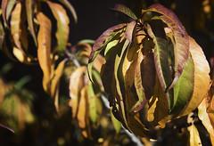 Autumn Leaves 5 (karl_eschenbach) Tags: autumn fall fallcolors leaves peach albuquerque newmexico nm southwest sw
