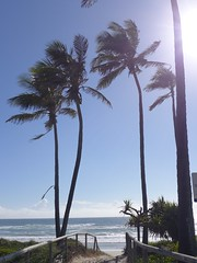 Windswept coconut palms on The Spit, Gold Coast (tanetahi) Tags: coconutpalm cocosnucifera arecaceae beach palm goldcoast queensland tanetahi