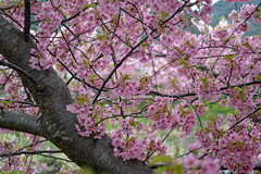 Cerasus lannesiana Carrière, Sakura in Kawazu 河津の桜, Shizuoka, Japan (takasphoto.com) Tags: angiosperms aqua asia bloom blossom blüte cascada cascade cascata cerasuscerasoides cerasusjamasakura cerasusspeciosa cherry cherryblossom chutedeau d600 flor flower floweringplant fullframe greenplants hoa japan japanesecherry kawazu kawazuzakura kingdomplantae lens meltwater nature nikkor nikkor2880mm nikkor2880mmf3356g nikkor2880mmf3356gautofocus nikon nikond600 outdoor plantae primavera prunusserrulata river sakura season shizuoka spring stream thác time vandfald vasser vesiputous water waterfall wodospad xochitl ヒザクラ ヤマザクラ 大島桜 季節 季節感 春 有花植物 桜 桜の木 植物