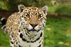 WHF: Sophia (Jaguar) (Jasmine'sCamera) Tags: whf wildlifeheritagefoundation bigcat bigcats bigcatsanctuary cat feline wild animals animal kent jaguar sophia eyes mouth ears whiskers upclose amazing