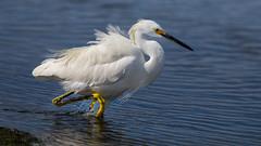 Snowy Egret (Eric Gofreed) Tags: california egret sandiego snowyegret