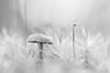Bryum Capillare (fredvr (Fred van Rooijen)) Tags: bryumcapillare sporophytevancapillair blackwhite bw draadmos fungi highkey monochrome mushroom nature natuur paddenstoel paddestoel plant toadstool zwartwit zww