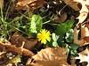 Dandelion at the End of November (AmyWoodward) Tags: dandelion fantasticflower