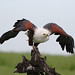 African fish eagle, Haliaeetus vocifer, at Chobe National Park