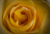 Into the Depths of Yellow (HMM) (13skies) Tags: flower rose swirl existence love around bloom petals yellow grow