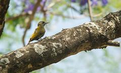 Little Woodpecker (olivinus) (Enrique Canedo) Tags: birds santacruzdelasierra santacruz bolivia sigma nikon d3s veniliornis passerinus carpintero oliva chico