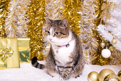 candy (ChicqueeCat) Tags: white gold christmas decor tree ribbon bow tinsel beads baubles nikon d3300 cat