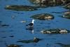 Gaviota-0731 (Jorgejam) Tags: morropajaros gaviotas pajaros mar