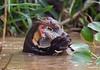 Nutria Gigante. Giant Otter, Pteronura brasiliensis. (Sergio Bitran M) Tags: pteronurabrasiliensis pantanal matogrosso brasil 2017 mamífero mammaria nutria gigante otter giant mustelidae pteronura