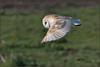 Barn Owl (image 2 of 2) (Full Moon Images) Tags: wicken fen nt national trust wildlife nature reserve cambridgeshire bird birdofprey flight flying barn owl