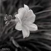 Hémérocalle au jardin de septembre... (Argentique) / Daylilly in september's garden... (Film) (Pentax_clic) Tags: hémérocalle fleur argentique film nb bw ilford delta 100 agfa ventura deluxe 66 d76 11 robert warren vaudreuil 1uebe septembre 2016 solinar 85mm