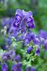 Aconitum 'Spark's Variety' (Alan Buckingham) Tags: aconite aconitumsparksvariety blue flower monkshood perennial rhswisley wolfsbane