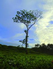 Alone in tea garden (faruqlib) Tags: nature wild tea paddy bangladesh lakatura leaf omar15 green