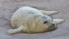 Young Grey Seal (Juergen Huettel Photography) Tags: robbe seal kegel helgoland düne jhuettel nordsee north sea water animal grey beach strand