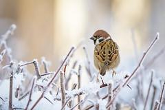 Tree sparrow, Pilfink (Passer montanus) (GcCostello) Tags: fågel pilfink snö vinter treesparrow passermontanus bird birds falun sweden dalarna nature