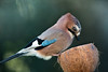 20171213-IMG_06906 (leonbrest) Tags: file:md5sum=5d14dda4160f8eb4e080689d92e2a54a file:sha1sig=2c50db7cd40c8b5f8ff5cb3b6c758898e0f64bea eichelhäher bird vogel rabenvogel jay 松鴉 сойка geai arrendajo