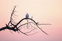 Snowy Owl at sundown (isaacgrant) Tags: ngc snowy owl new york city staten island birds