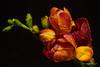 Freesia (Magda Banach) Tags: canon freesia blackbackground colors drops flora flower macro nature orange red canon80d