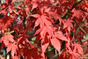 Red Acer Leaves (Bri_J) Tags: botanicalgardens sheffield southyorkshire uk park nikon d7200 autumn fall red acer leaves tree
